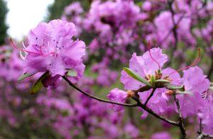 Уссурийская обсерватория и цветение рододендрона.