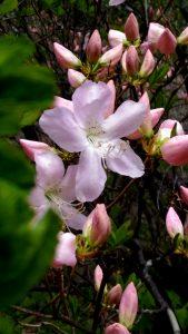 Цветение рододендрона и горячий бассейн.